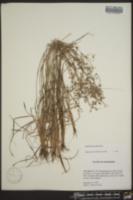 Fimbristylis decipiens image