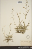 Image of Eragrostis brownei