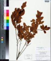 Gaylussacia tomentosa image
