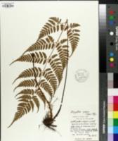 Image of Dryopteris sparsa