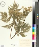 Myrrhis odorata image