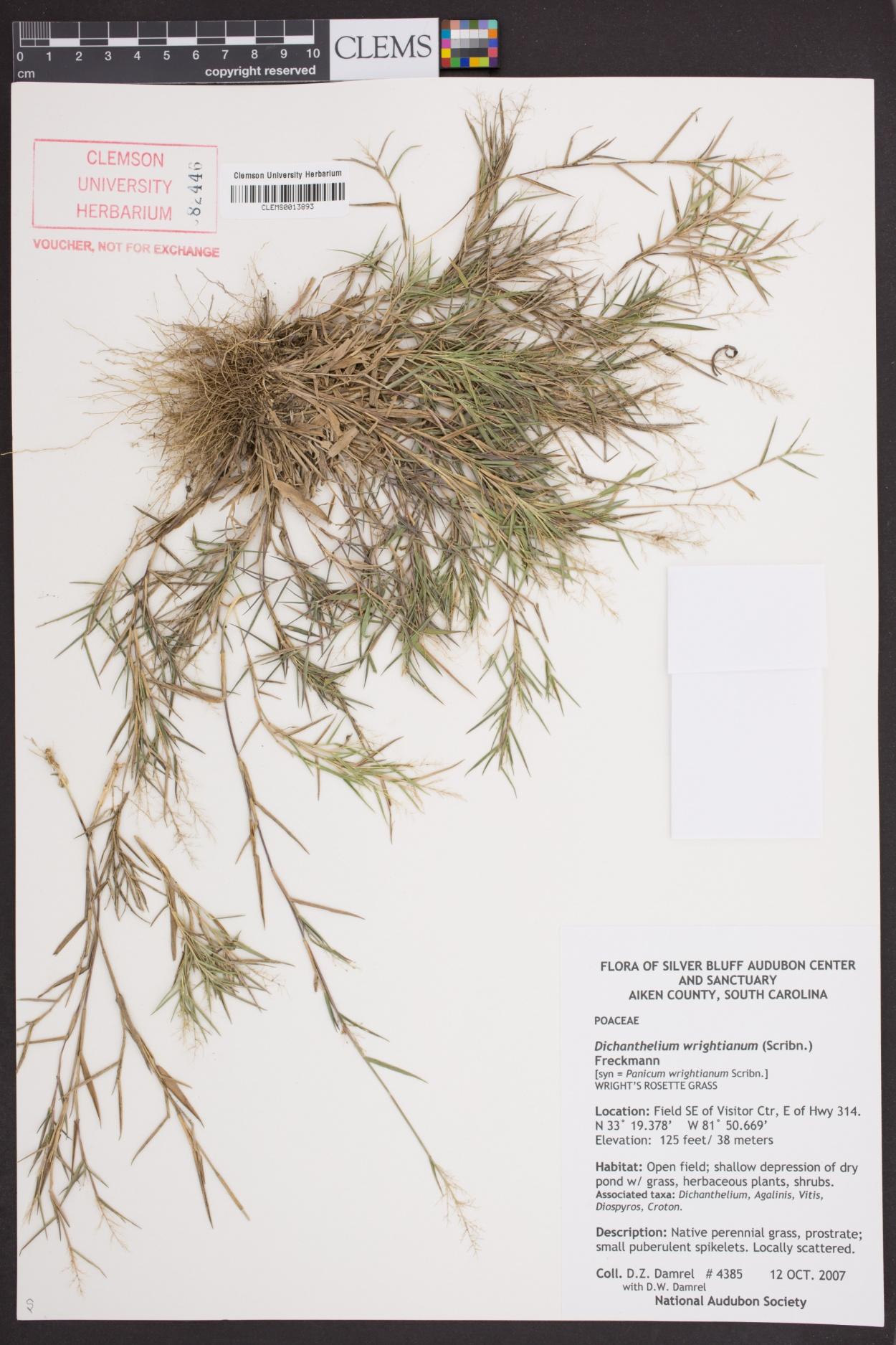 Dichanthelium wrightianum image