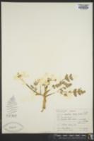 Lomatium hallii image