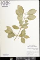 Euonymus fortunei image