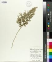 Selaginella tamariscina image