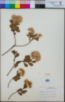 Image of Pluchea indica