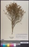 Stephanomeria pauciflora image