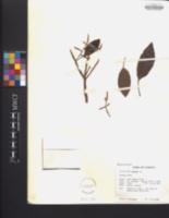 Image of Croton eluteria