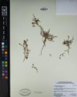Chorizanthe brevicornu image