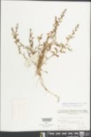 Rorippa cantoniensis image