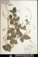 Image of Galactia fasciculata