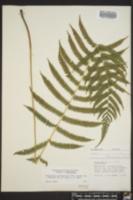 Thelypteris pilosa image