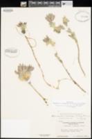 Anelsonia eurycarpa image