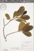 Image of Terminalia oblonga