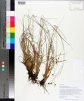 Rhynchospora harperi image