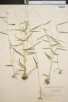 Image of Panicum barbulatum
