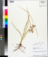 Image of Cyperus onerosus