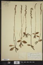 Spiranthes lacera var. gracilis image