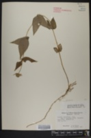 Monarda bradburiana image