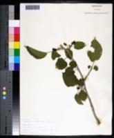 Morus nigra image