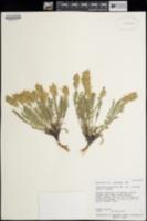 Oxytropis borealis image