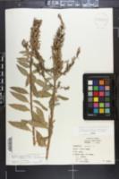 Oenothera nutans image