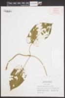Gonolobus suberosus image