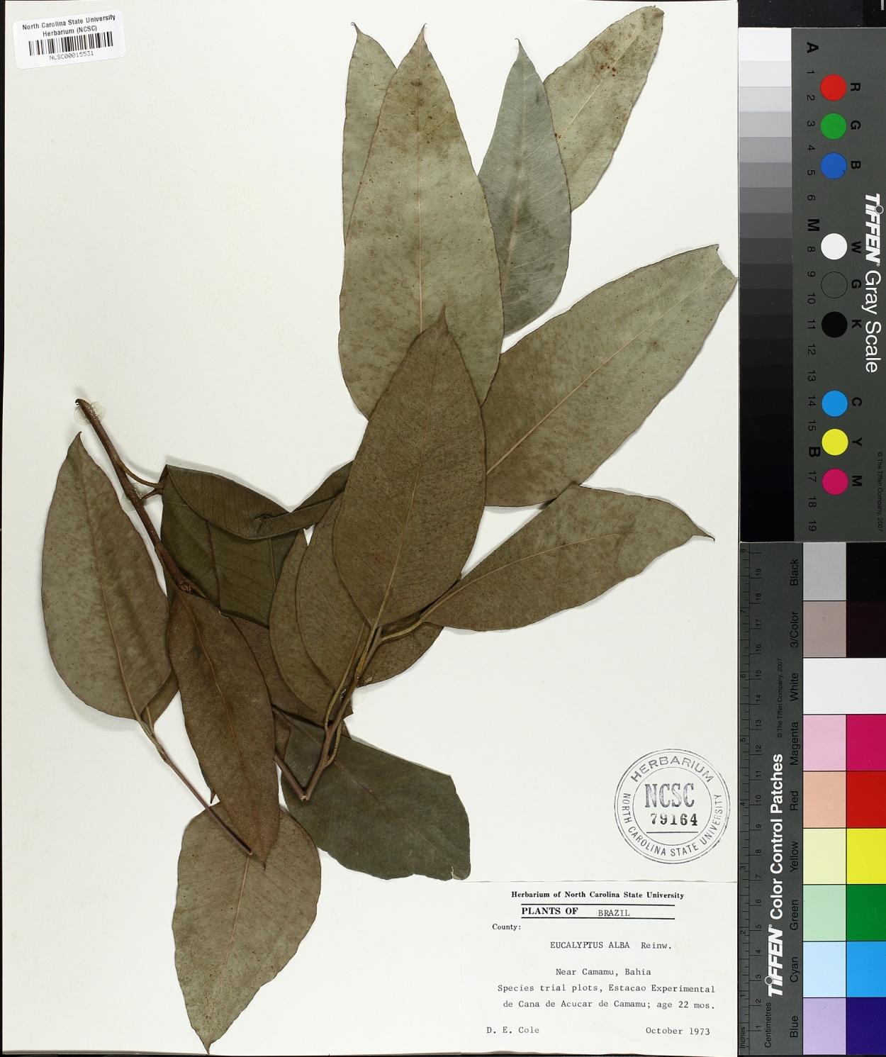 Eucalyptus alba image