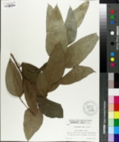Image of Eucalyptus alba