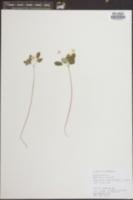 Anemone thalictroides image