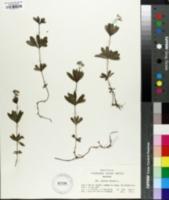 Image of Asperula odorata