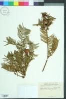 Cephalotaxus harringtonii image