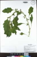 Dysphania anthelmintica image