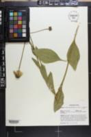 Rudbeckia grandiflora image