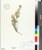 Macrosiphonia macrosiphon image