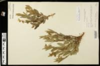 Image of Crotalaria sagittalis