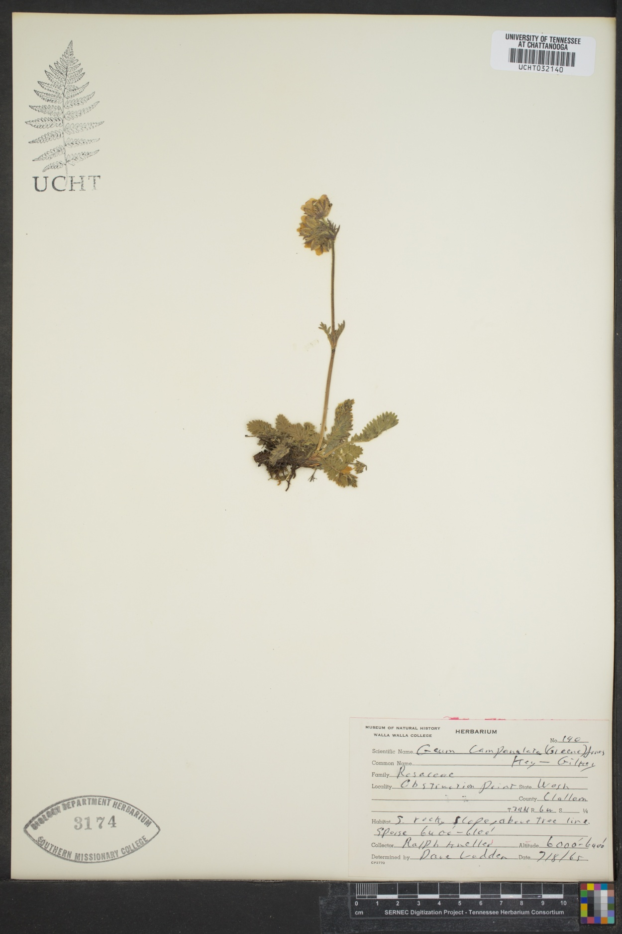Geum campanulatum image