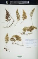 Hymenophyllum poolii image