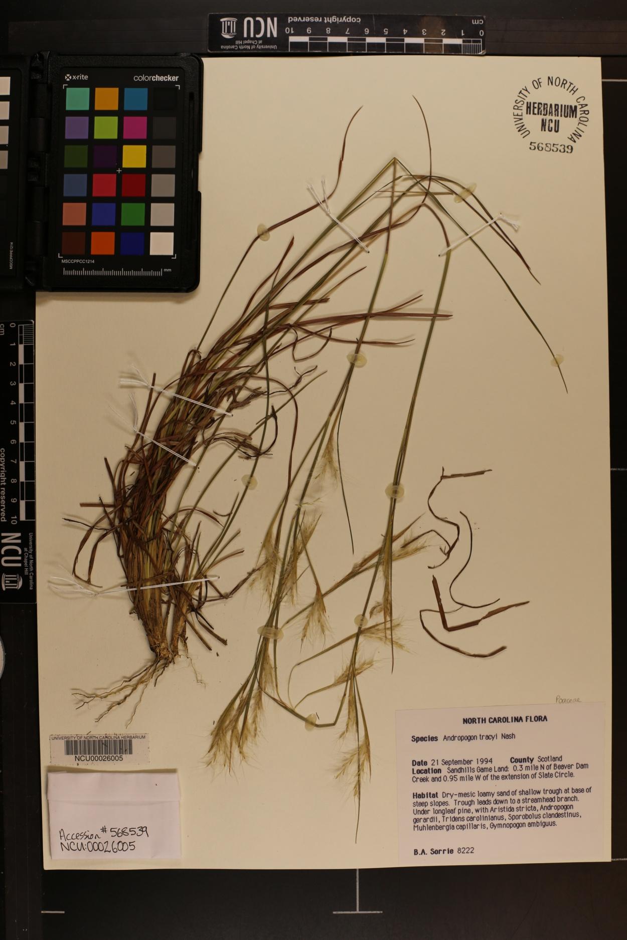 Andropogon tracyi image