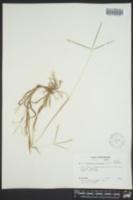 Digitaria ischaemum image