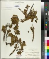 Sophora chrysophylla image