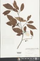 Image of Lindera metcalfiana