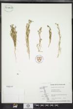 Spergularia salina image