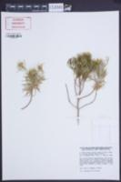 Image of Asteriscus pinifolius
