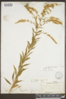 Solidago rupestris image