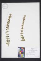 Image of Teucrium lucidum