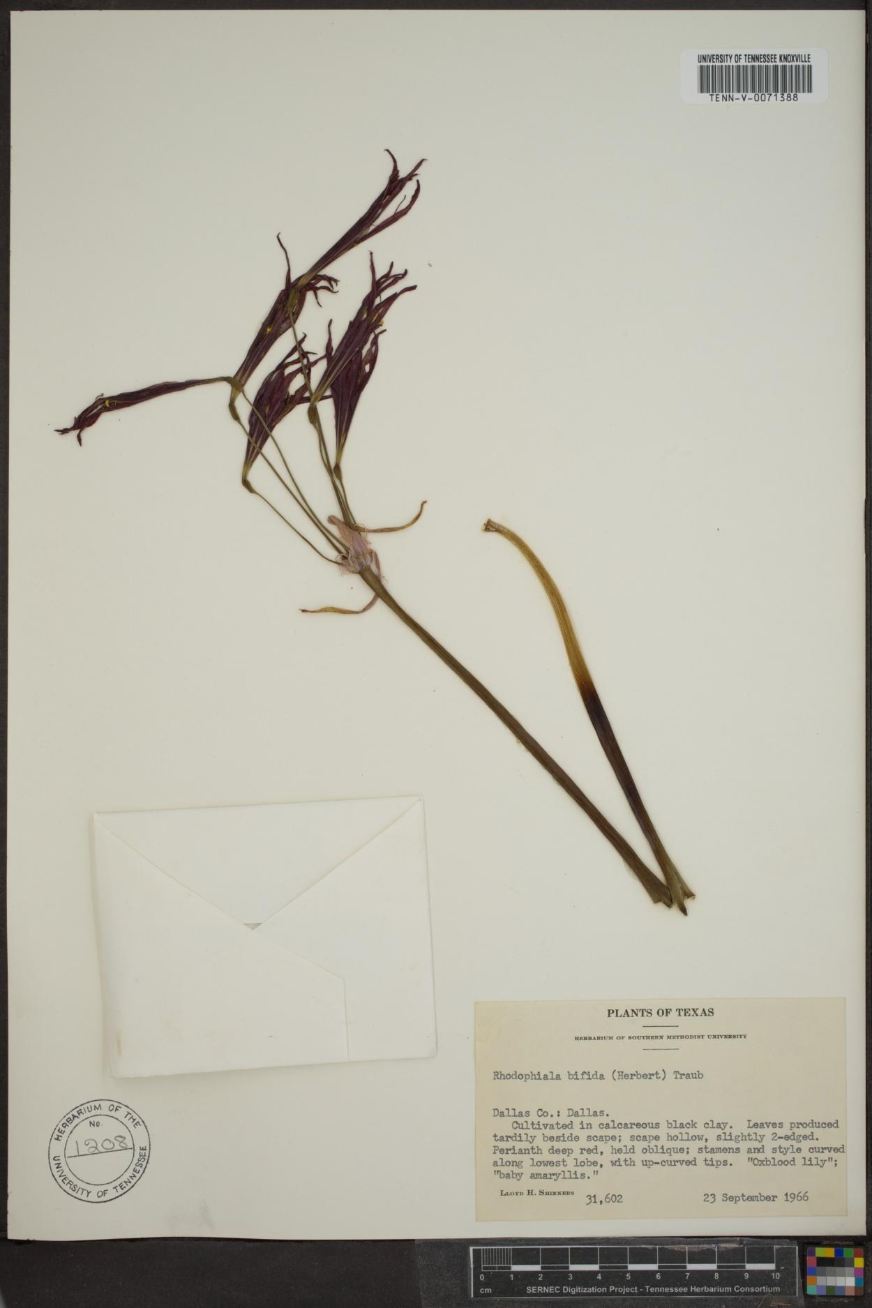 Rhodophiala biflora image