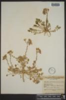 Oenothera clavaeformis image