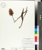 Image of Platanthera chapmanii