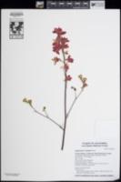 Image of Delphinium cardinale